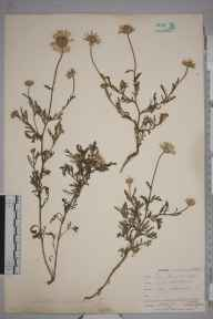 Anthemis arvensis herbarium specimen from Falmouth Docks, VC1 West Cornwall in 1901 by Mr Frederick Hamilton Davey.