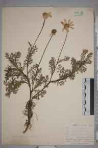 Anthemis arvensis herbarium specimen from Ponsanooth, Gillytresamble, VC1 West Cornwall in 1900 by Mr Frederick Hamilton Davey.