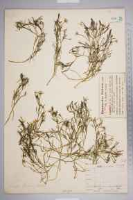 Ranunculus fluitans herbarium specimen from East Reston, VC81 Berwickshire in 1900 by Mr Charles Bailey.