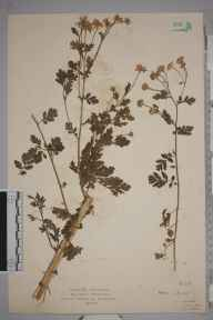 Tanacetum parthenium herbarium specimen from Dunster, VC5 South Somerset in 1922 by Mr Isaac A Helsby.