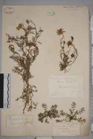 Matricaria  herbarium specimen from Shamley Green, VC17 Surrey in 1883.