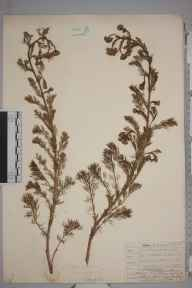 Matricaria  herbarium specimen from Plumstead, VC16 West Kent in 1907 by William Henry Griffin.