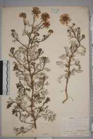 Matricaria  herbarium specimen from Catford, VC16 West Kent in 1902 by William Henry Griffin.