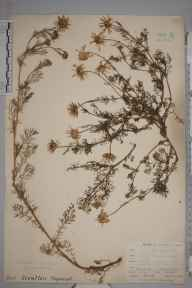 Matricaria  herbarium specimen from Niton, VC10 Isle of Wight in 1898 by Mr Allan Octavian Hume.