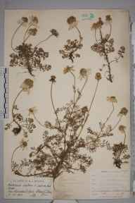 Tripleurospermum inodorum herbarium specimen from Rhossili, VC41 Glamorganshire in 1903 by Mr James Groves.