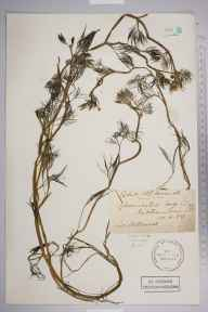 Ranunculus trichophyllus herbarium specimen from Mitcham Common, VC17 Surrey in 1884 by Mr Arthur Bennett.