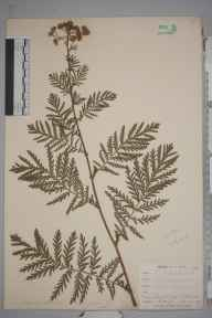 Tanacetum vulgare herbarium specimen from Saint Gluvias, VC1 West Cornwall in 1899 by Mr Frederick Hamilton Davey.