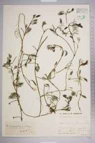 Ranunculus trichophyllus herbarium specimen from Winchelsea, VC14 East Sussex in 1932 by Mr Job Edward Lousley.