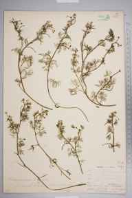 Ranunculus trichophyllus herbarium specimen from Dartford Marshes, VC16 West Kent in 1903 by William Henry Griffin.