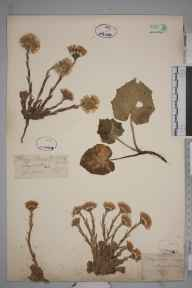 Tussilago farfara herbarium specimen from Twycross, VC55 Leicestershire in 1843 by Mr Frederick Townsend.