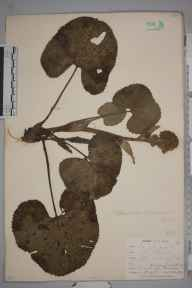 Petasites fragrans herbarium specimen from Penryn, VC1 West Cornwall in 1899 by Mr Frederick Hamilton Davey.