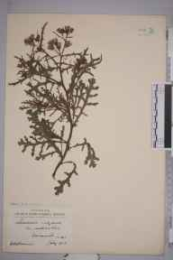 Senecio vulgaris var. radiatus herbarium specimen from Barmouth, VC48 Merionethshire in 1923 by William Robert Sherrin.