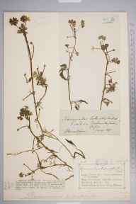 Ranunculus aquatilis herbarium specimen from Milverton, VC38 Warwickshire in 1879 by Mr Charles Bailey.