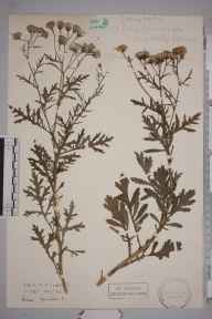 Senecio squalidus herbarium specimen from Reading, VC22 Berkshire in 1943.