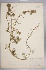 Ranunculus aquatilis herbarium specimen from Chase Wood, VC38 Warwickshire in 1856 by Mr Frederick Townsend.