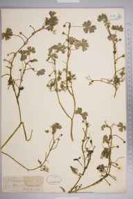Ranunculus aquatilis herbarium specimen from Barcheston, VC38 Warwickshire in 1880 by Mr Frederick Townsend.