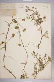 Ranunculus aquatilis herbarium specimen from Barcheston, VC38 Warwickshire in 1880.