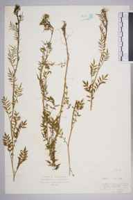 Cardamine impatiens herbarium specimen from Tewkesbury, VC33 East Gloucestershire in 1929 by Mr Isaac A Helsby.