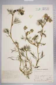 Ranunculus aquatilis herbarium specimen from Colney Heath, VC20 Hertfordshire in 1932 by Mr Job Edward Lousley.