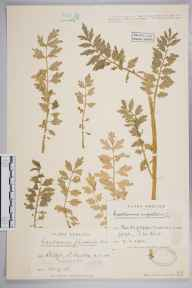 Cardamine impatiens herbarium specimen from Leigh, VC16 West Kent in 1932 by Mr William Harrison Pearsall.