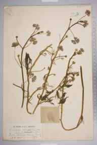Ranunculus aquatilis herbarium specimen from Mitcham Common, VC17 Surrey in 1885 by Mr Henry Groves.