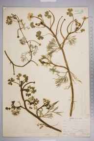 Ranunculus aquatilis herbarium specimen from Catford, VC16 West Kent in 1903 by Mr James Groves.
