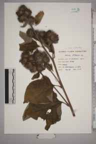Arctium nemorosum herbarium specimen from Puttenham Heath, VC17 Surrey in 1955.