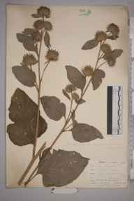Arctium lappa herbarium specimen from East Looe, VC2 East Cornwall in 1900 by Mr Allan Octavian Hume.