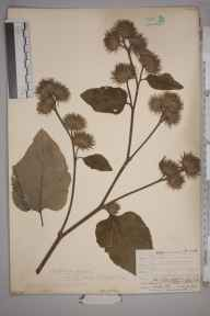 Arctium nemorosum herbarium specimen from Box Hill, VC17 Surrey in 1908 by Mr Allan Octavian Hume.