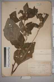 Arctium nemorosum herbarium specimen from Guildford, VC17 Surrey in 1883 by Mr William Hadden Beeby.