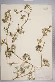 Ranunculus aquatilis herbarium specimen from Leominster, VC36 Herefordshire in 1855 by Mr Frederick Townsend.