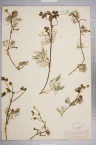 Ranunculus aquatilis herbarium specimen from Southover, VC14 East Sussex in 1847 by Joseph Woods.