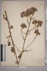 Cirsium palustre herbarium specimen from Barcombe, VC14 East Sussex in 1853 by Joseph Woods.