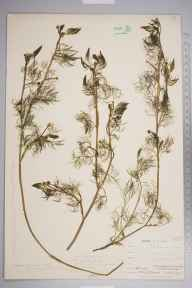 Ranunculus aquatilis herbarium specimen from Plumstead, VC16 West Kent in 1894 by Mr Henry Groves.