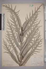 Cirsium heterophyllum herbarium specimen from High Force Hotel, VC66 County Durham in 1903 by Mr Allan Octavian Hume.