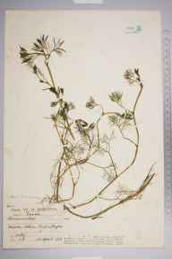 Ranunculus aquatilis herbarium specimen from Hadleigh Marsh, VC18 South Essex in 1913 by William Robert Sherrin.