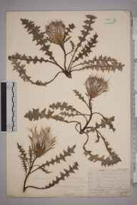 Cirsium acaule herbarium specimen from Beachy Head, VC14 East Sussex in 1908 by Mr Allan Octavian Hume.