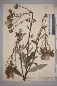 Cirsium arvense herbarium specimen from Plumstead, VC16 West Kent in 1907 by William Henry Griffin.