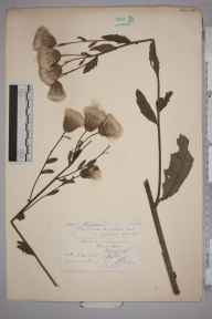Cirsium arvense herbarium specimen from Edinburgh, VC83 Midlothian in 1876 by Mr Frederick Morgan Webb.
