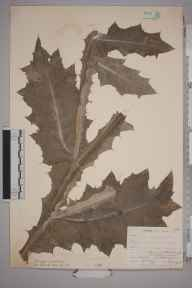 Onopordum acanthium herbarium specimen from Stratford on Avon, VC38 Warwickshire in 1843 by Mr Frederick Townsend.