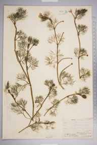 Ranunculus aquatilis herbarium specimen from Streat, VC14 East Sussex in 1906 by Thomas Hilton.