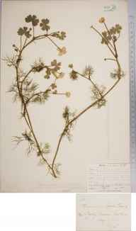 Ranunculus peltatus herbarium specimen from Chailey Common, VC14 East Sussex in 1905 by Thomas Hilton.