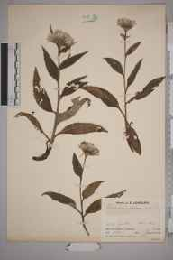 Saussurea alpina herbarium specimen from Stob Garbh, VC88 Mid Perthshire in 1933 by Mr Job Edward Lousley.