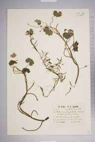 Ranunculus peltatus herbarium specimen from Matley Bog, VC11 South Hampshire in 1930 by Richard Barker Ullman.