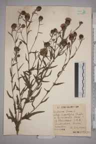 Centaurea pannonica herbarium specimen from Sanderstead, VC17 Surrey in 1942 by Mr Charles Edward Britton.