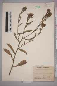 Centaurea pannonica herbarium specimen from West Molesey, VC17 Surrey in 1943 by Mr Job Edward Lousley.