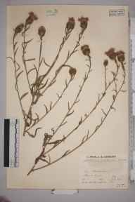 Centaurea nigra x jacea = C. x moncktonii herbarium specimen from Broadstairs, VC15 East Kent in 1935 by Arthur H Carter.
