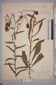 Centaurea nigra x jacea = C. x moncktonii herbarium specimen from Addington, VC17 Surrey in 1916 by Stafford Edwin Chandler.