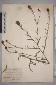 Centaurea nigra x jacea = C. x moncktonii herbarium specimen from Banstead Downs, VC17 Surrey in 1924 by Mr Charles Edward Britton.