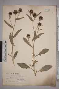 Centaurea surrejana herbarium specimen from Epsom Downs, VC17 Surrey in 1921 by Mr Charles Edward Britton.